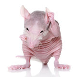 Hairless rat on a white background Stock Photo