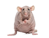 Hairless Rat (2 years old) Stock Photo