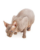 Hairless Sphynx Cat Eating Royalty Free Stock Image