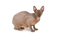 Hairless Sphynx Cat Side View Royalty Free Stock Photo