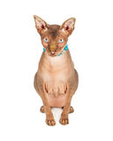Hairless Sphynx Cat Wearing Necklace Royalty Free Stock Photo