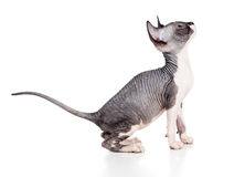 Hairless sphynx kitten Stock Photos