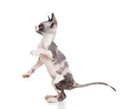 Hairless sphynx kitten Stock Photo