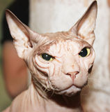 Hairless white cat. Royalty Free Stock Photos