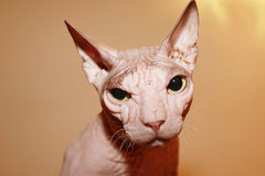 Hairless white cat. Royalty Free Stock Photography