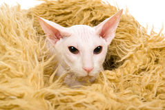 Hairless white Peterbald in fur bed Stock Image