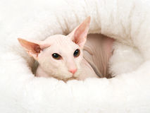 Hairless white Peterbald in white fur bed Stock Photos