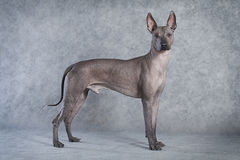 Hairless xoloitzcuintle dog. Hairless xoloitzcuintle male dog against grey background stock image