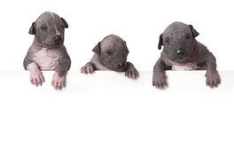Hairless xoloitzcuintle puppies Stock Photos