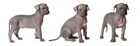 Hairless xoloitzcuintle puppies Royalty Free Stock Image