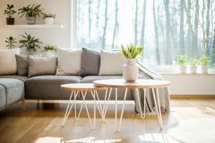 Hairpin tables with fresh tulips in a vase standing in bright li. Ving room interior with big window, potted plants and grey corner lounge royalty free stock image