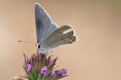 hairstreak серого цвета бабочки Стоковые Изображения
