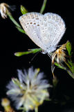Hairstreak Fotografie Stock