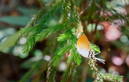Hairstreak Butterfly on branch Stock Photography