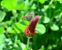 Hairstreak Butterfly Crimson Clover Royalty Free Stock Photos
