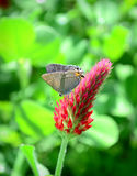 Hairstreak Butterfly Crimson Clover Royalty Free Stock Photo