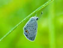 Hairstreak Butterfly and Dew Royalty Free Stock Photo