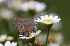 Hairstreak Butterfly Stock Images