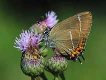 Hairstreak da Branco-letra (w-álbum de Satyrium) fotos de stock