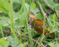 Hairstreak de Brown (betulae de Theca) sur l'herbe Photo libre de droits