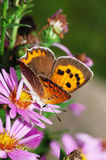 Hairstreak and mum. A red hairstreak butterfly stay on mum flowers. means ardency and harmonious royalty free stock images