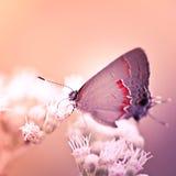 Hairstreakfjäril på den vita blomman Arkivfoto