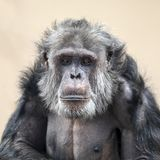 Adult Chimpanzee portrait. An hairy Adult male Chimpanzee portrait royalty free stock image