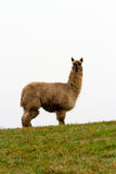 Hairy Alpaca looking to camera Stock Photos