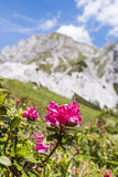 Hairy Alpenrose mountain in Background in the Alps in Austria. Hairy Alpenrose with mountain Gartnerkofel in Background on Nassfeld in Carnic Alps in Austria royalty free stock image