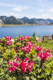 Hairy Alpenrose near lake with Julian Alps in the background. Hairy Alpenrose near lake in the mountains on Nassfeld in Carnic Alps with Julian Alps in the royalty free stock images