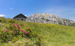 Hairy Alpenrose with old stone hut and mountain Gartnerkofel. On Nassfeld in Carnic Alps in Austria stock images