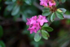 Hairy alpenrose (Rhododendron hirsutum) Stock Images