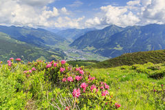 Hairy alpenrose Rhododendron hirsutum. In front of the township of Bad Hofgastein in the austrian alps stock photography