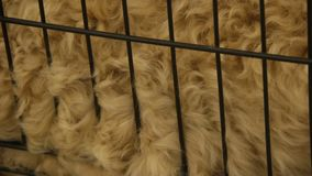 Hairy animal in cage, natural sheep wool for making clothes, grooming services. Stock footage stock footage