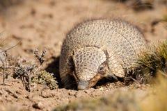 Hairy Armadillo. Front View of Hairy Armodillo In Dry Desert Habitat Stock Photo