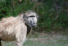 Hairy Baboon Royalty Free Stock Image