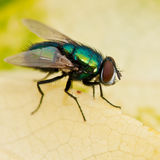 Hairy Back. A hairy backed greenbottle fly sits on a yellowing leaf Royalty Free Stock Image