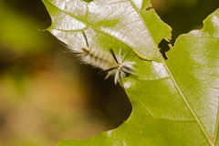 Hairy Banded Tussock Moth Caterpillar. A fuzzy, hairy, black caterpillar with black tufts at front and back, the  banded tussock moth caterpillar, is crawling Stock Image