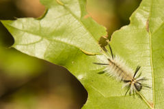 Hairy Banded Tussock Moth Caterpillar, Top Stock Photography