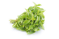Hairy Basil or Ocinum canum. Isolated on white background Spices in thai food Royalty Free Stock Images