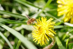 Hairy bee-fly pollinates dandelion royalty free stock image