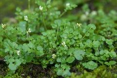 Free Hairy Bittercress Cardamine Hirsuta Plant Royalty Free Stock Images - 83867049