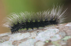 Hairy Black Caterpillar climbing a tree Royalty Free Stock Image