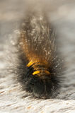 Hairy black and golden larva. Or caterpillar Royalty Free Stock Image