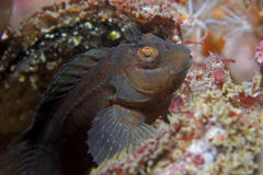 Hairy Blenny. A Hairy blenny rests on a shipwreck Royalty Free Stock Photos