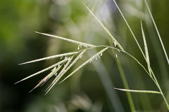 Hairy brome (Bromopsis ramosa) grass in flower Royalty Free Stock Photography