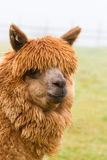 Alpaca hairy brown alpaca like a llama Royalty Free Stock Image