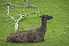 Hairy brown Alpaca Royalty Free Stock Image