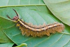 Brown Caterpillar Stock Photography