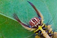 Brown Caterpillar Royalty Free Stock Photos